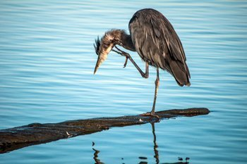 Great Blue Heron, Ladner, BC
